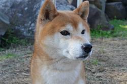 柴犬、紀州犬の販売
