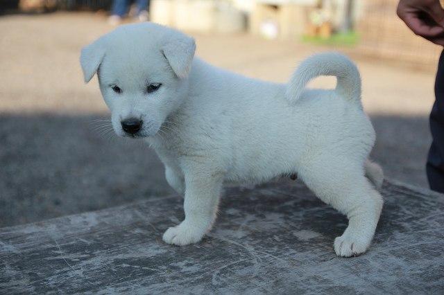 柴犬、紀州犬